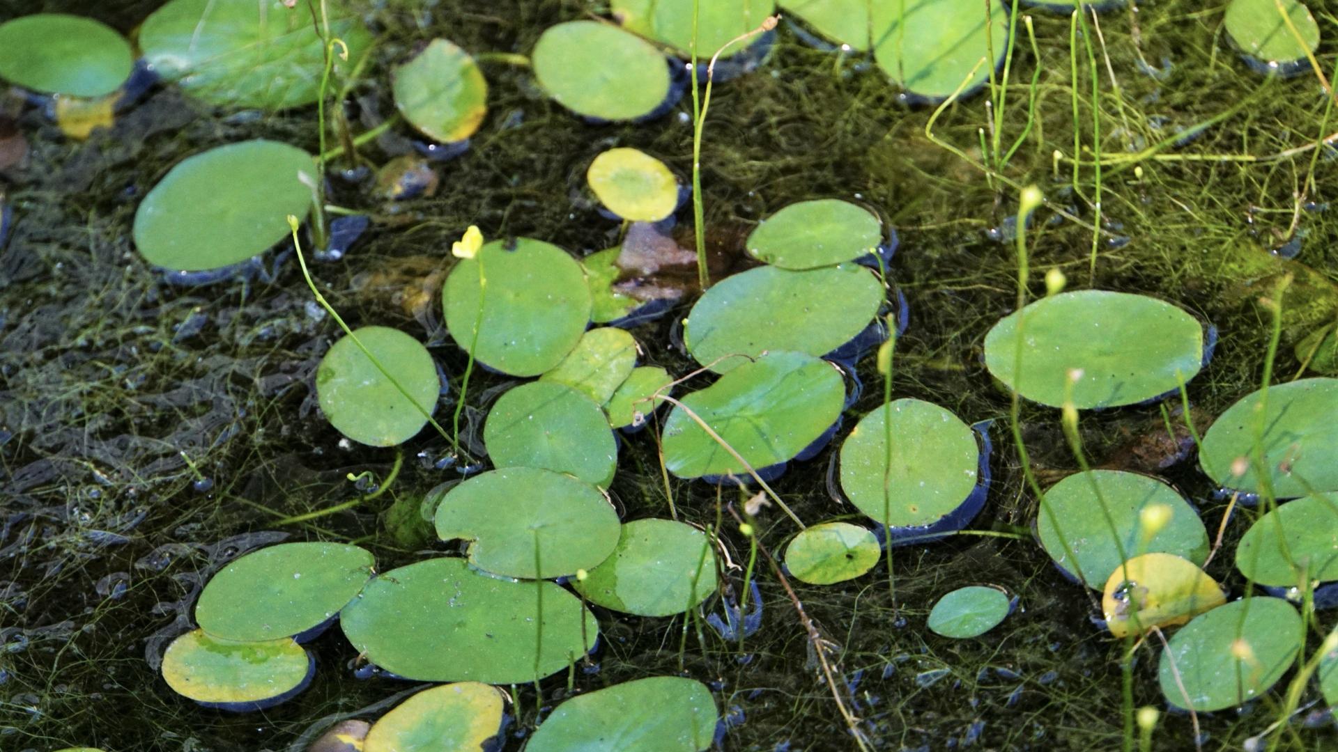 八王子市 長池公園で61年ぶりに「ジュンサイ」と「ミズユキノシタ」が発見される