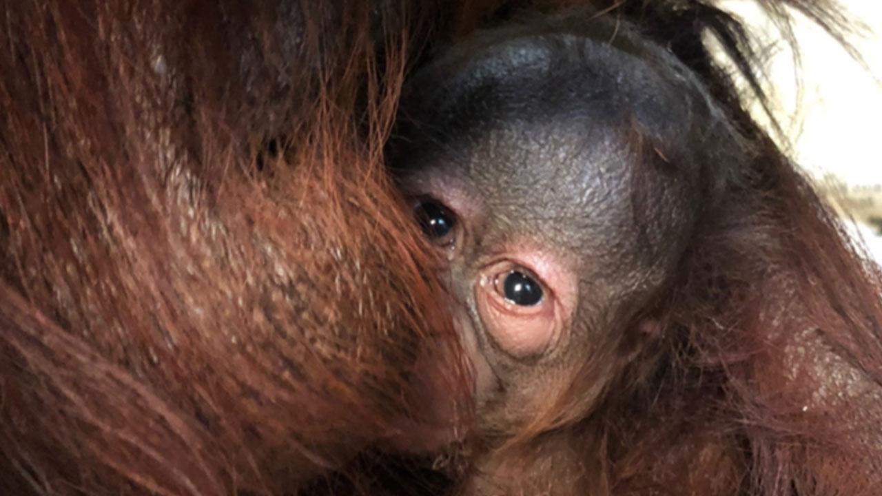 多摩動物公園 オラウータンが生まれる